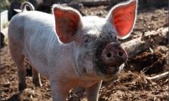 Pig 1 - Eat like a Pig