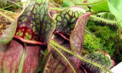 Carnivorous Plant Vore