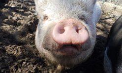Piggy Fractionation Loop